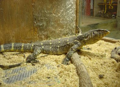 This is our female Ornate Forest monitor, named Nice