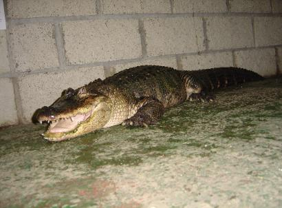 This is our new female American alligator, CC.